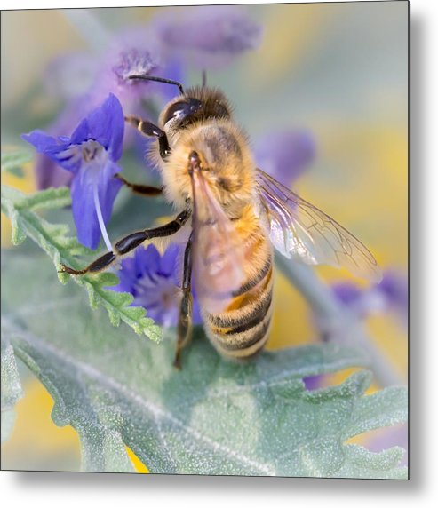 Apidae Metal Print featuring the photograph Honey bee 3 by Jim Hughes