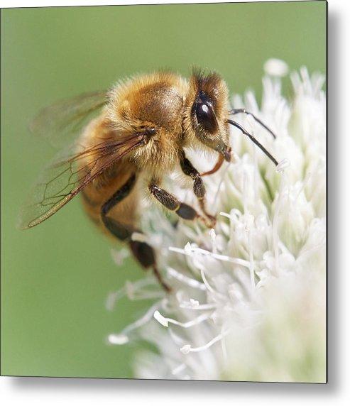Apidae Metal Print featuring the photograph Honeybee on Rattlesnake Master by Jim Hughes