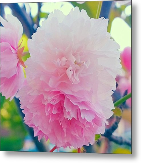 Pink Metal Print featuring the photograph In Love With This Delicate #pink #tree by Shari Warren