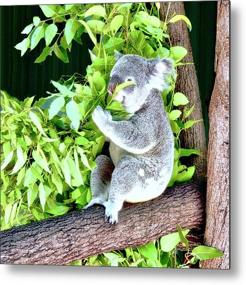 Koala Metal Print featuring the photograph Koalas Love Their Eucalyptus by Kirsten Giving