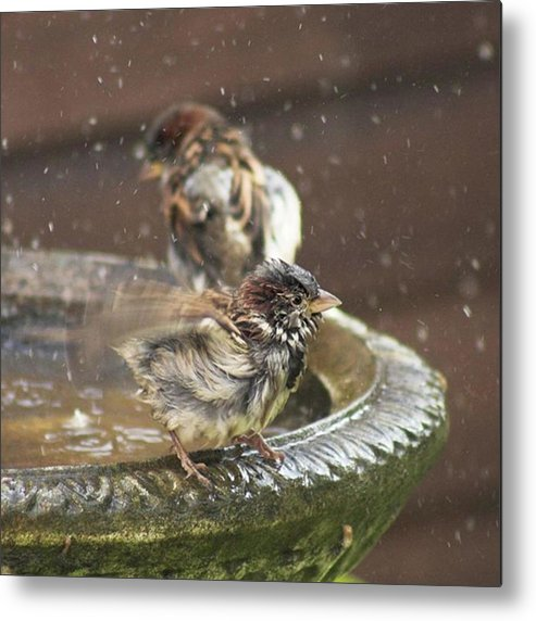 Nature Metal Print featuring the photograph Pass The Towel Please: A House Sparrow by John Edwards