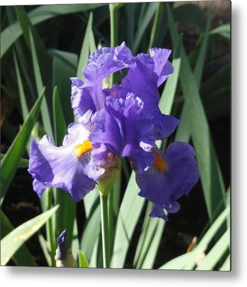 Purple Metal Print featuring the photograph Purple Iris by Shannon Grissom