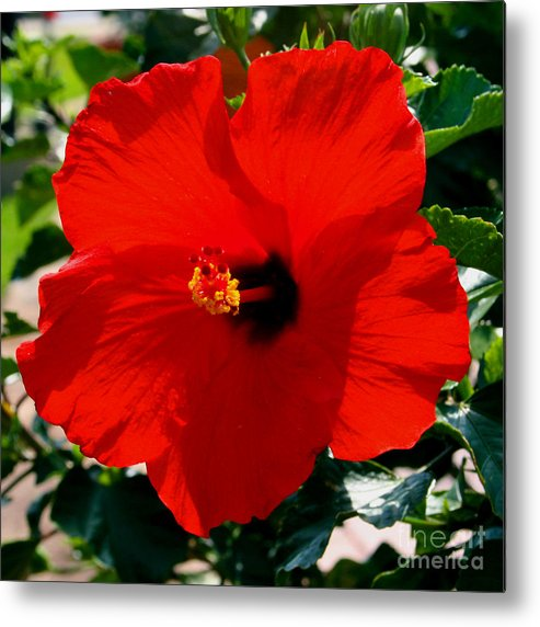 Red Metal Print featuring the photograph Red Bloomers by Paul Anderson