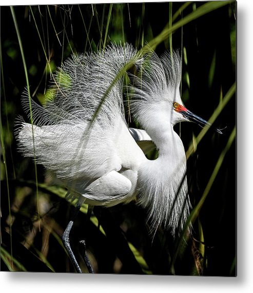 Snowy Egret Metal Print featuring the photograph Snowy Egret by Steven Sparks