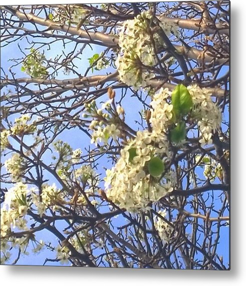 Plants Metal Print featuring the photograph #spring #blossoms Have Arrived :-) by Shari Warren