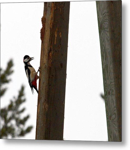 Lehtokukka Metal Print featuring the photograph Woodpecker workshop by Jouko Lehto