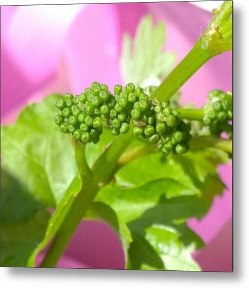 Vineyard Metal Print featuring the photograph #zinfandel #wine #grapes Baby Buds by Shari Warren