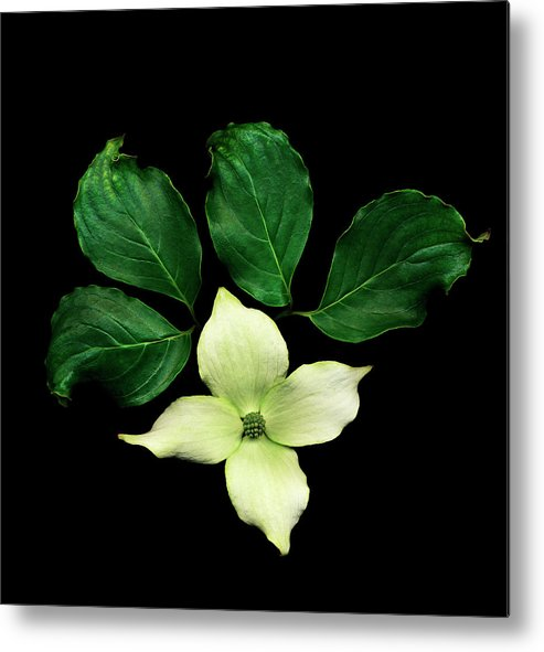 Dogwood Metal Print featuring the photograph Cornus Plant Against Black Background by Mike Hill