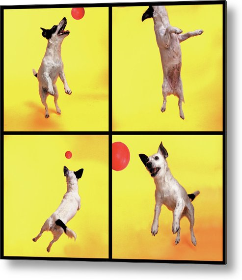 Pets Metal Print featuring the photograph Jack Russell Jumping For Ball by Photodisc