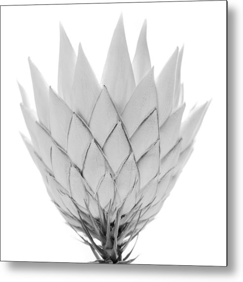 White Background Metal Print featuring the photograph King Protea by Michael John Hood