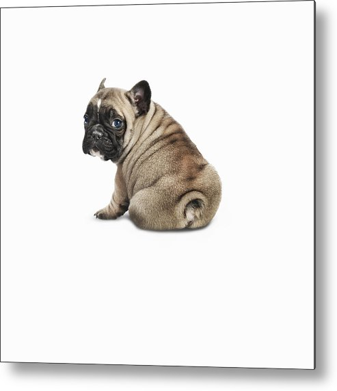 Pets Metal Print featuring the photograph Pedigree French Bulldog Against A White by Andrew Bret Wallis