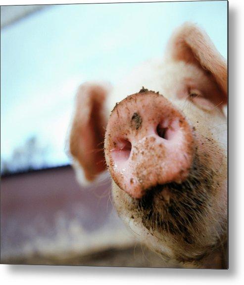 Pig Metal Print featuring the photograph Pig by Matt Carr