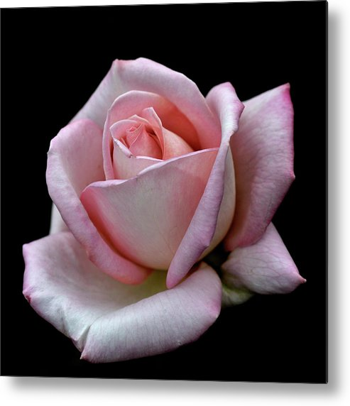 Part Of A Series Metal Print featuring the photograph Pink Rose by I Love Photo And Apple.