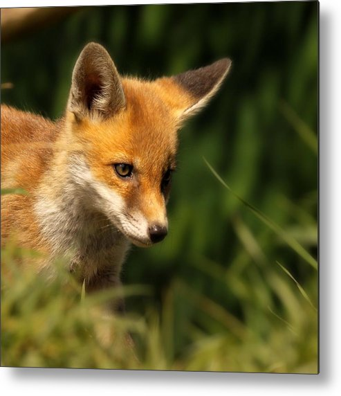 Alertness Metal Print featuring the photograph Red Fox Cub In The Grass by Chris Jolley