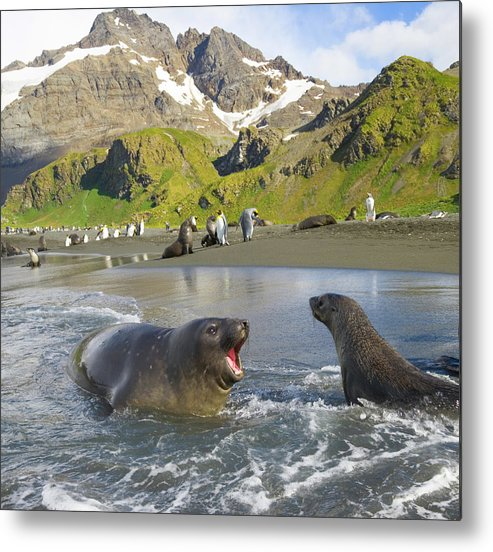 South Georgia Island Metal Print featuring the photograph Southern Elephant Seal Pup Barking At by Eastcott Momatiuk