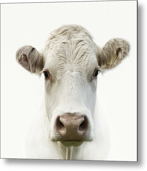 White Background Metal Print featuring the photograph White Cow by Jojo1 Photography