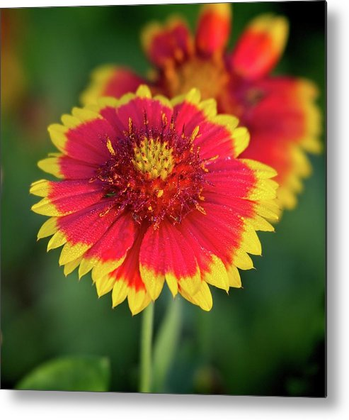 Red Metal Print featuring the photograph Red and Yellow Flower by Steve DaPonte