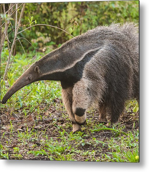 Grass Metal Print featuring the photograph Tamanduá Bandeira - Giant Anteater by Www.froehlich-photo.com