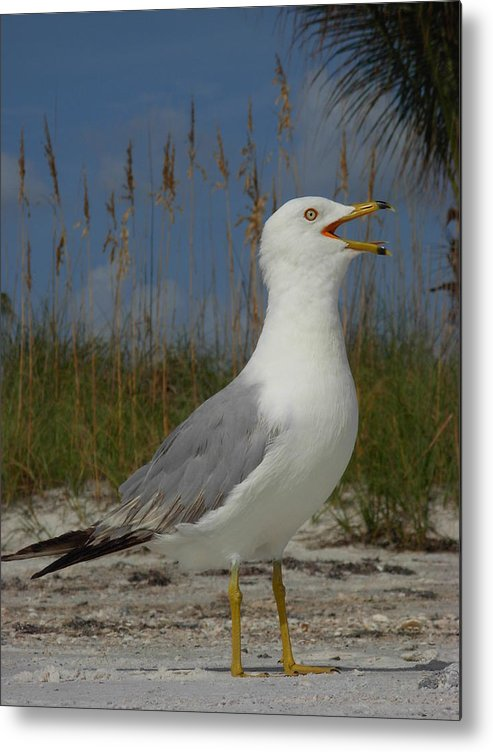 Seagulls Metal Print featuring the photograph Songs Of The Gull by Amanda Vouglas