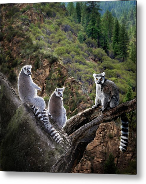 Nature Photography Metal Print featuring the photograph Lemur Family by Melinda Hughes-Berland