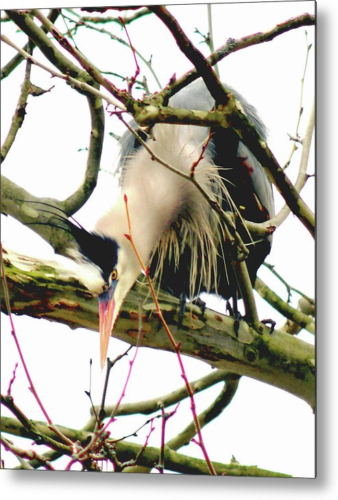 Great Blue Heron Metal Print featuring the photograph 040111-105 by Mike Davis