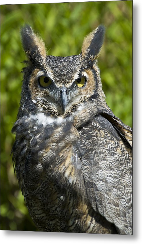Owl Metal Print featuring the photograph Great Horned Owl by Jacki Pienta