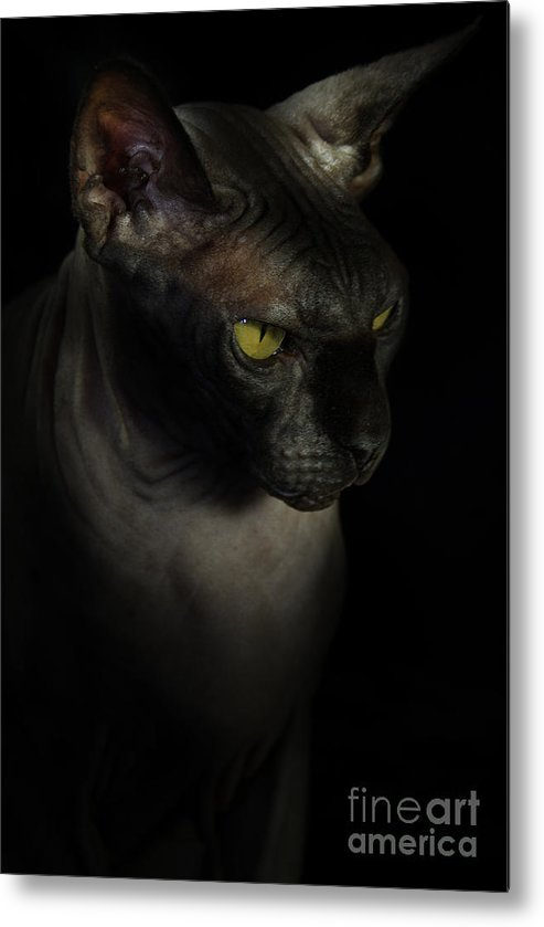 Hairless Cat Metal Print featuring the photograph Sphynx Cat Portrait by Glenda Wright