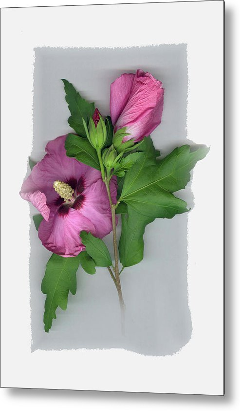 Metal Print featuring the photograph Rose of Sharon by Sandi F Hutchins