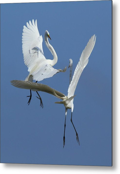 Great Egret Metal Print featuring the photograph Aerial Ballet by Andrew McInnes