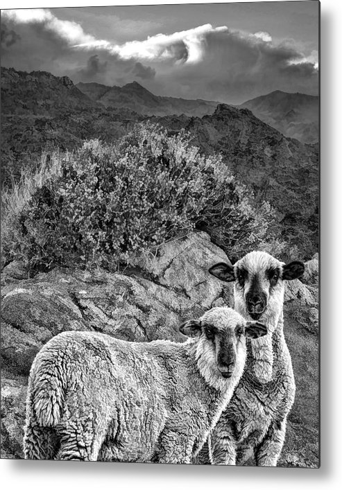 Metal Print featuring the photograph Desert Sheep by Blake Richards