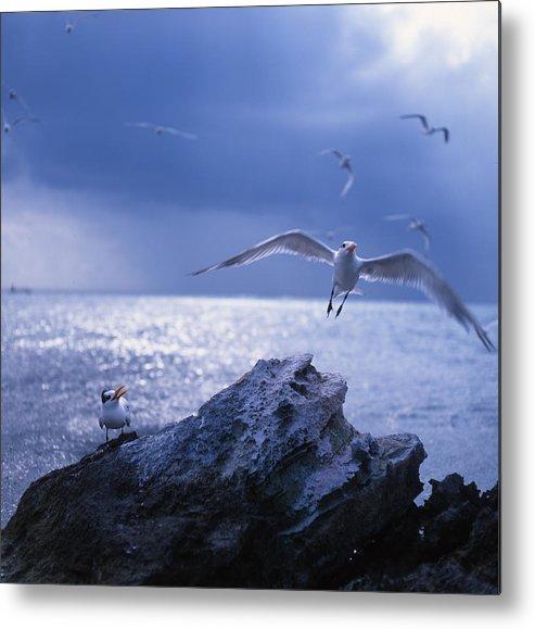 Nature Metal Print featuring the photograph Seabird Flack by Benjamin Garvey