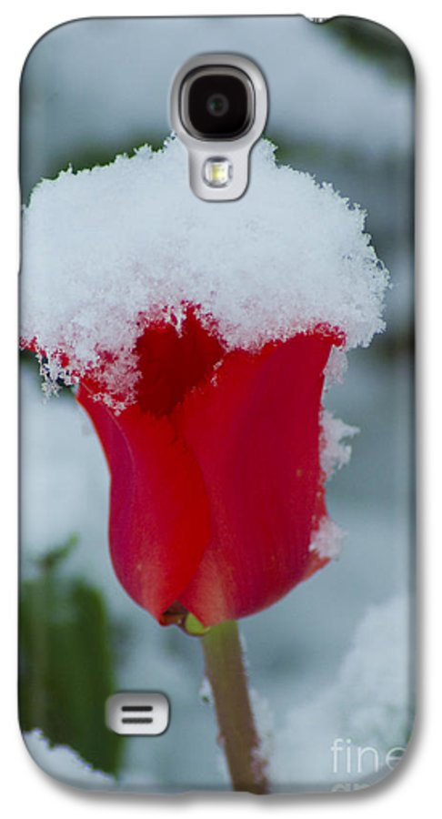 Tulip Galaxy S4 Case featuring the photograph Snowy Red Riding Hood by Louise Magno