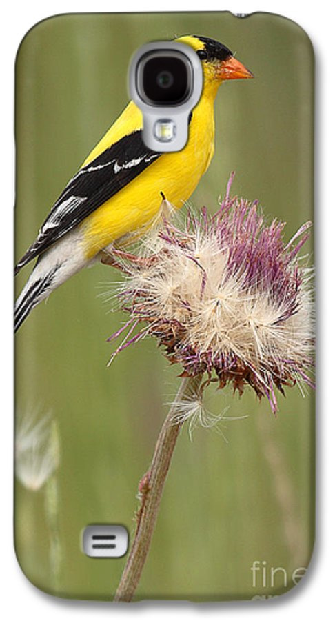 Goldfinch Galaxy S4 Case featuring the photograph American Goldfinch On Summer Thistle by Max Allen