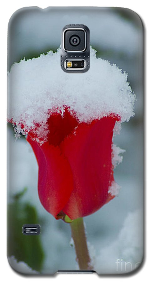 Tulip Galaxy S5 Case featuring the photograph Snowy Red Riding Hood by Louise Magno