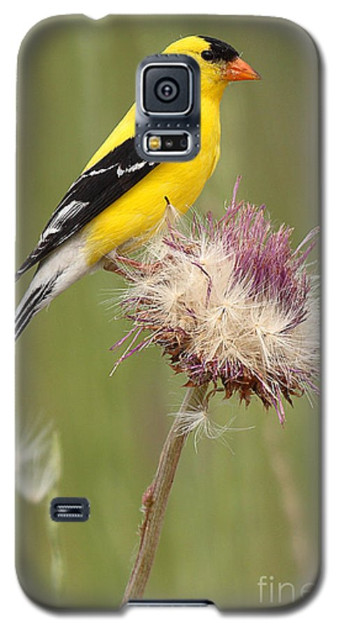 Goldfinch Galaxy S5 Case featuring the photograph American Goldfinch On Summer Thistle by Max Allen