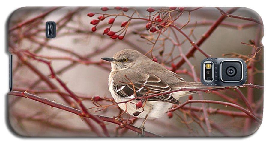 Mockingbird Galaxy S5 Case featuring the photograph Mockingbird In Winter Rose Bush by Max Allen