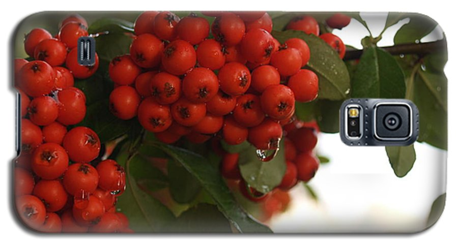 Pyracantha Galaxy S5 Case featuring the photograph Pyracantha Berries In December by Anna Lisa Yoder