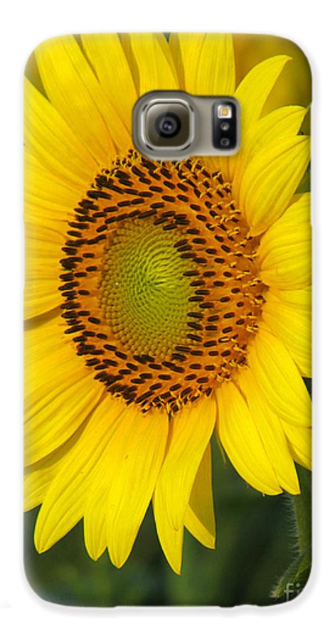 Sunflowers Galaxy S6 Case featuring the photograph Sunflower by Amanda Barcon