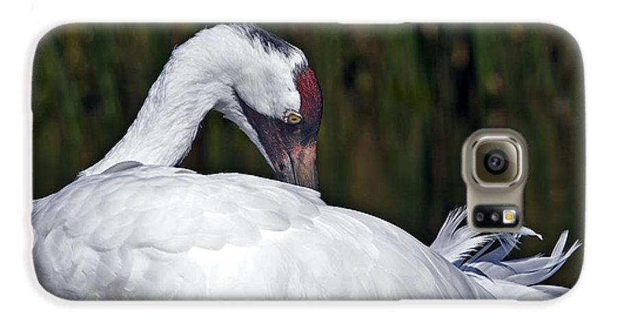 Avian Galaxy S6 Case featuring the photograph A Preening Whooping Crane by Al Mueller