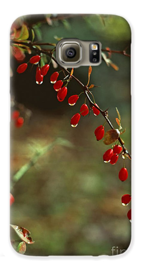 Pennsylvania Galaxy S6 Case featuring the photograph American Barberry With Raindrops by Anna Lisa Yoder