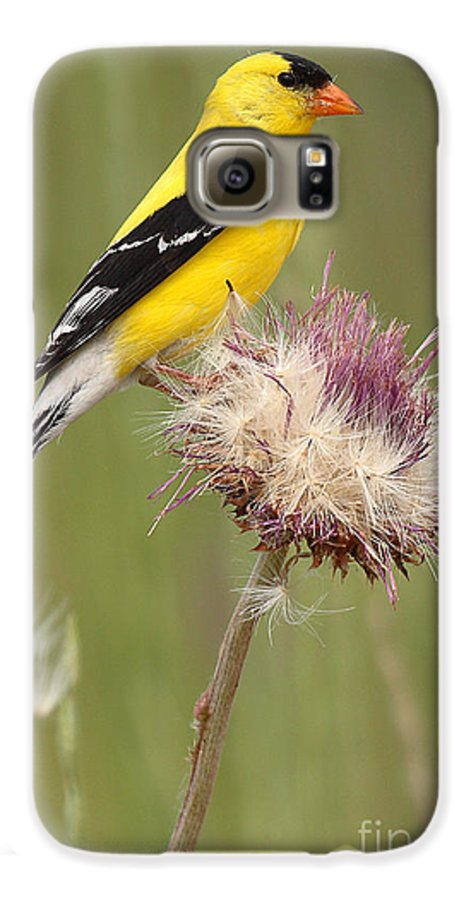 Goldfinch Galaxy S6 Case featuring the photograph American Goldfinch On Summer Thistle by Max Allen