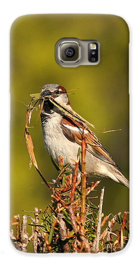 Sparrow Galaxy S6 Case featuring the photograph English Sparrow Bringing Material To Build Nest by Max Allen
