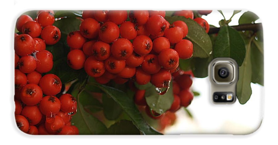 Pyracantha Galaxy S6 Case featuring the photograph Pyracantha Berries In December by Anna Lisa Yoder