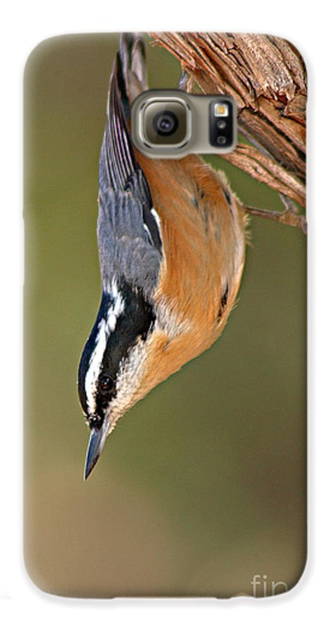Nuthatch Galaxy S6 Case featuring the photograph Red-breasted Nuthatch Upside Down by Max Allen