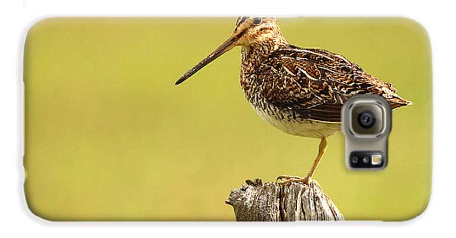 Snipe Galaxy S6 Case featuring the photograph Wilson's Snipe On Morning Perch by Max Allen
