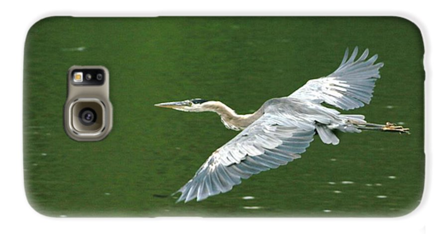 Landscape Nature Wildlife Bird Crane Heron Green Flight Ohio Water Galaxy S6 Case featuring the photograph Young Great Blue Heron Taking Flight by Dawn Downour