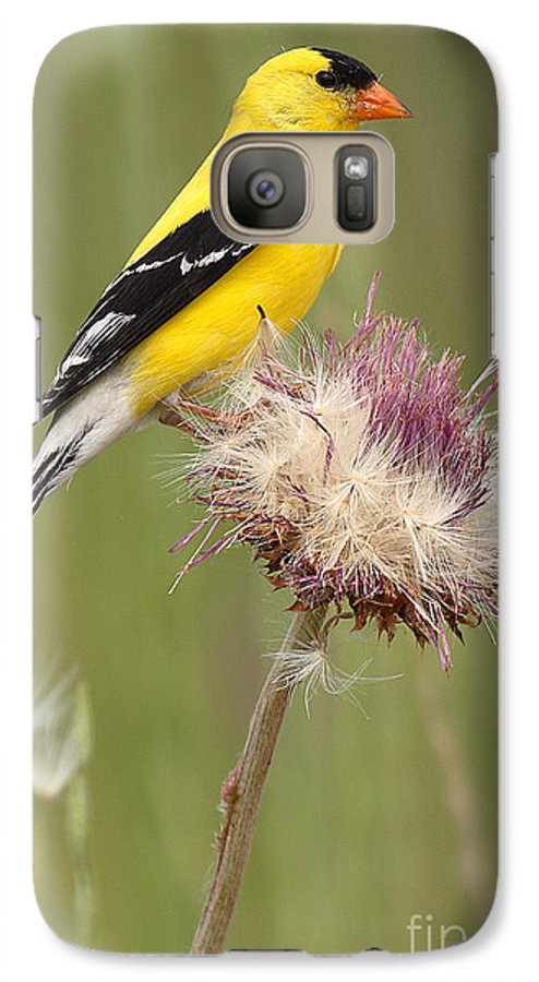 Goldfinch Galaxy S7 Case featuring the photograph American Goldfinch On Summer Thistle by Max Allen