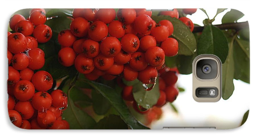 Pyracantha Galaxy S7 Case featuring the photograph Pyracantha Berries In December by Anna Lisa Yoder