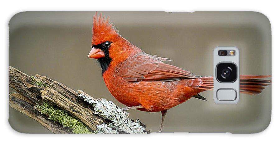 Cardinal Galaxy S8 Case featuring the photograph   Portrait Of Cardinal by Ben Lavitt