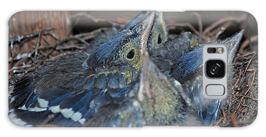 Bluejay Chicks Galaxy S8 Case featuring the photograph Bluejay Chicks by Jaron Wood